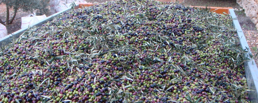 New oil, the first day of harvest 2014