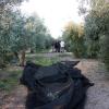 Recogida oliva 2015