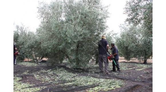 Recogida oliva