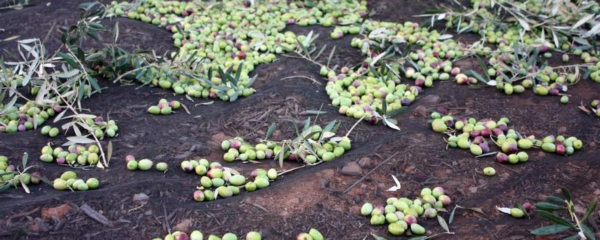 Olive Sammlung 2015